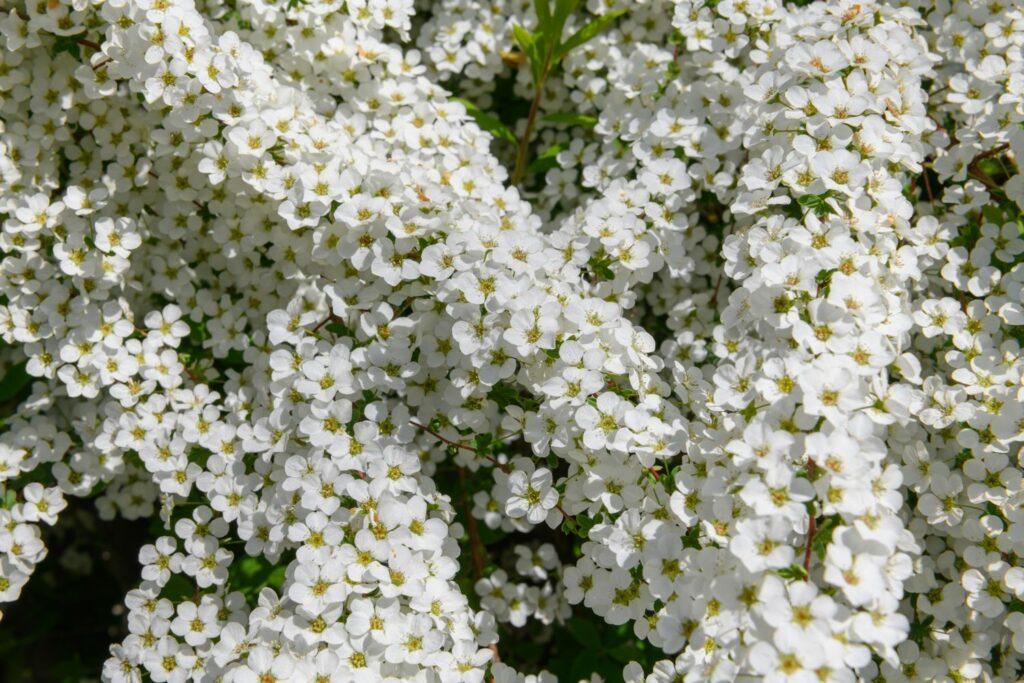 weißer frühblühender Strauch