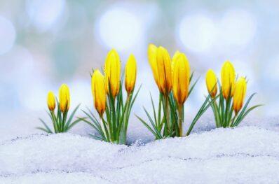 Frühblüher: Übersicht zu den schönsten Frühjahrspflanzen