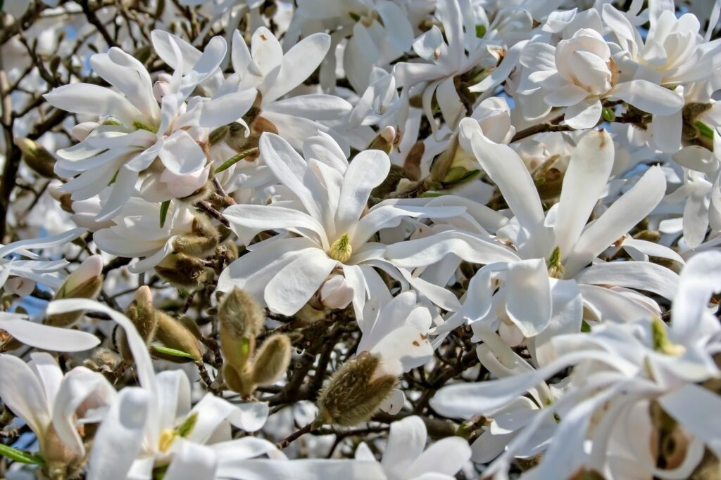 frühblühende Stern-Magnolie