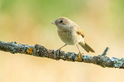 Gartengrasmücke: Nest, Futter, Lebensraum & mehr