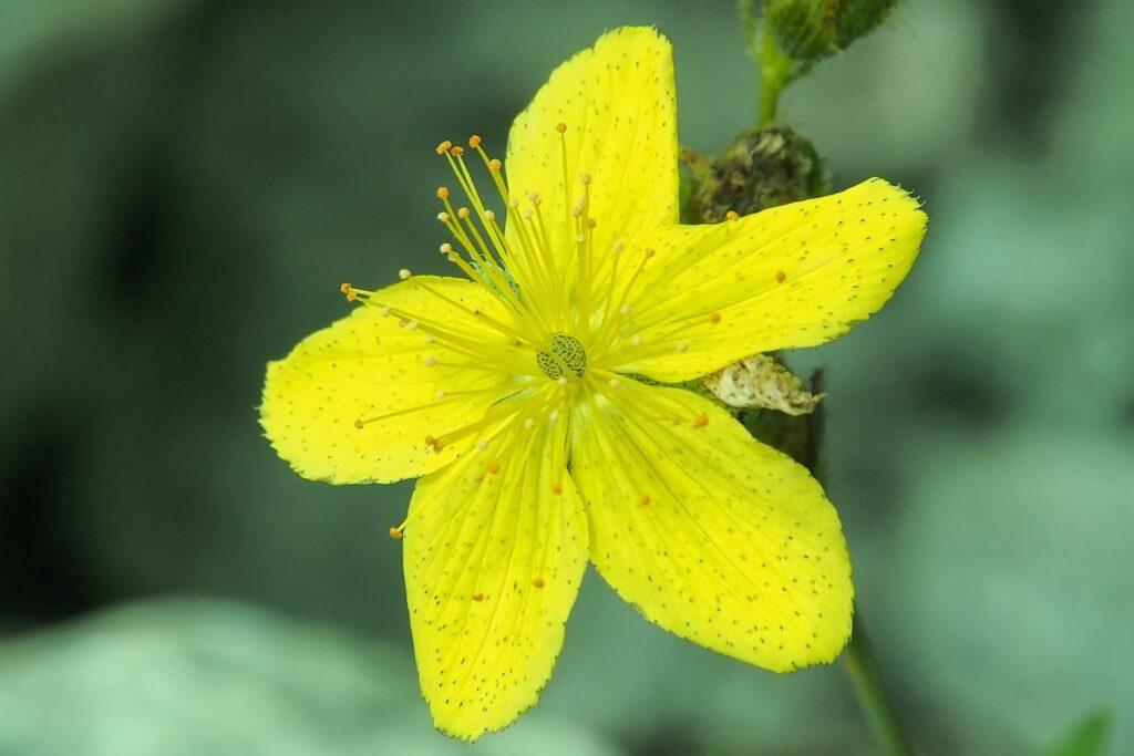 Blüte des Gefleckten Johanniskrauts