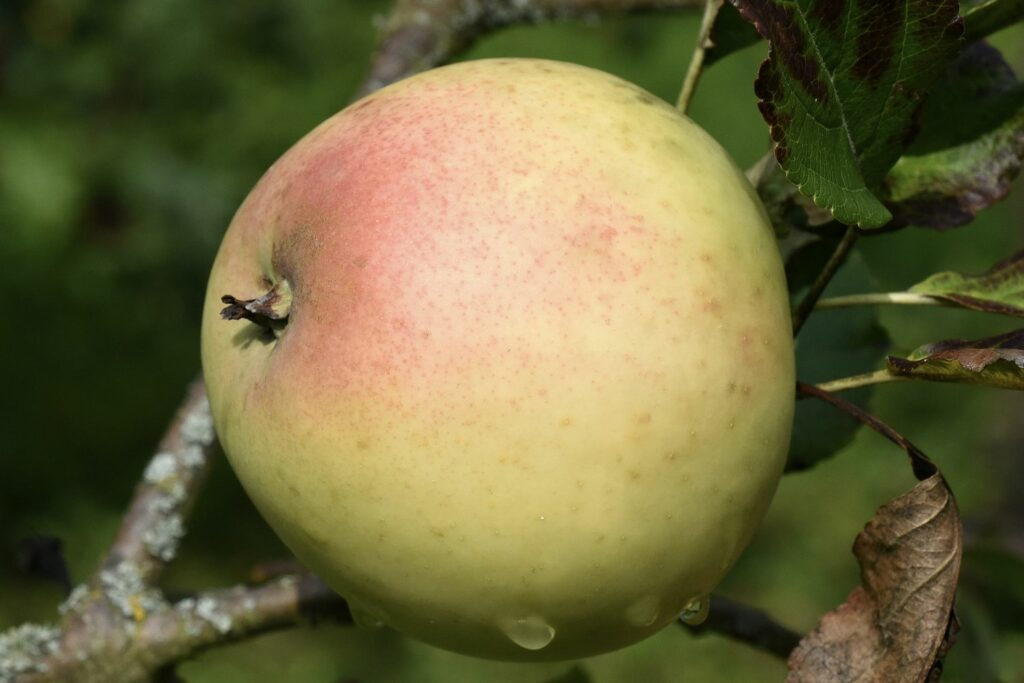 Grahams-Jubiläumsapfel am Baum