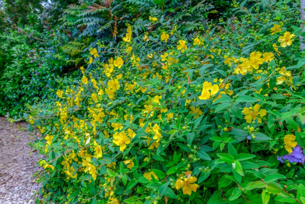 Großblumiger Johanniskraut-Strauch