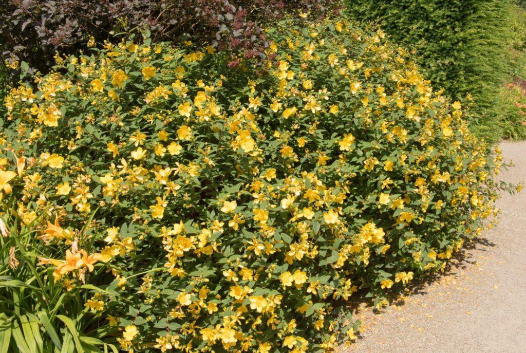 Hohes Johanniskraut mit gelben Blüten
