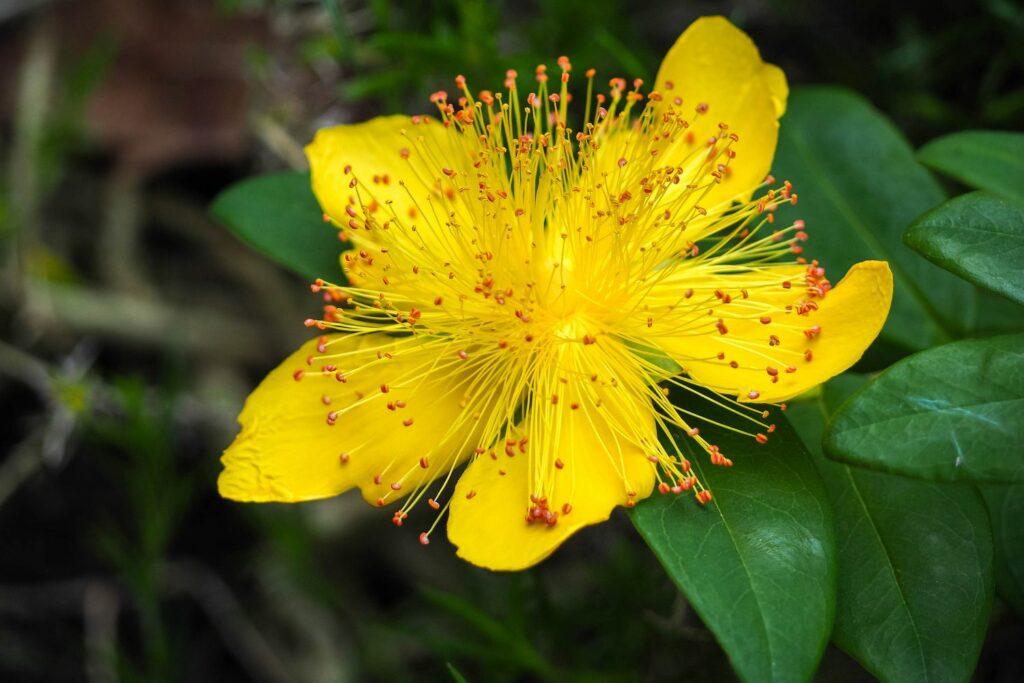 gelbe Johanniskraut-Blüte