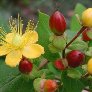Johanniskraut: Standort, Schneiden & Verwendung als Heilpflanze