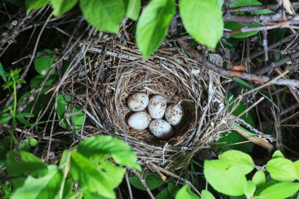 Nest und Eier der Klappergrasmücke