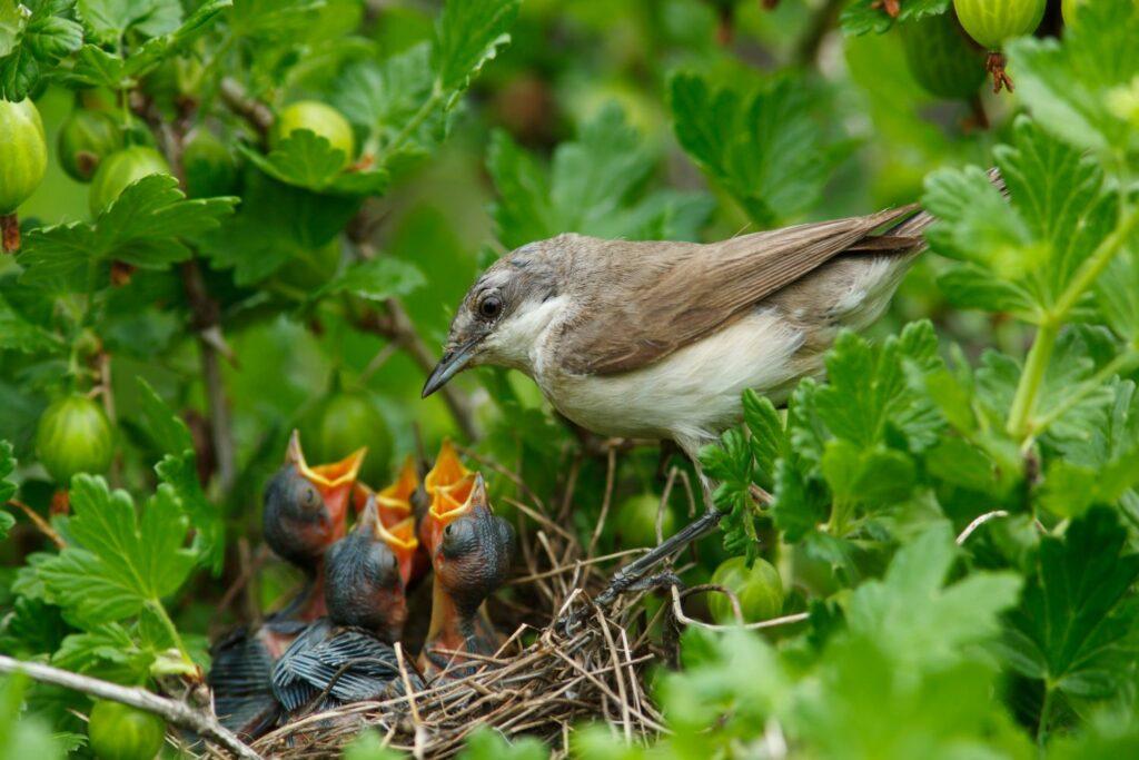 junge Klappergrasmücken im Nest