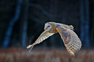 Nachtaktive Vögel: Arten, Gesang & Rufe