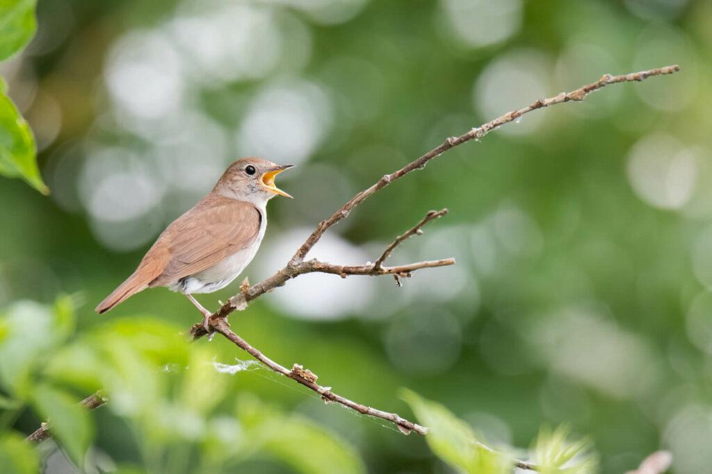 nachts singender Vogel