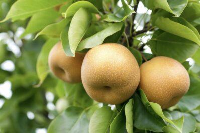 Nashi-Birne: Sorten, Pflanzen & Schneiden der Chinesischen Birne