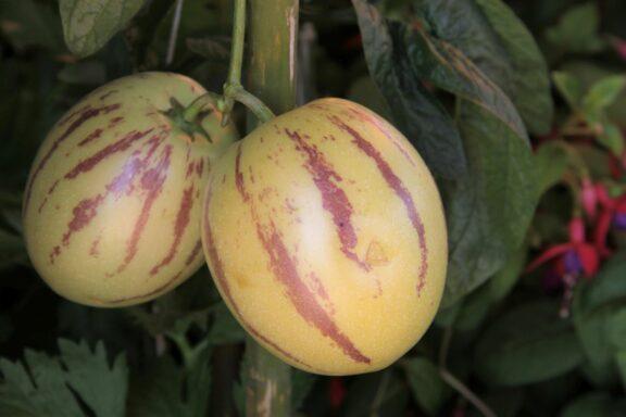 Pepino: Pflanzen, Pflegen & Überwintern der Melonenbirne