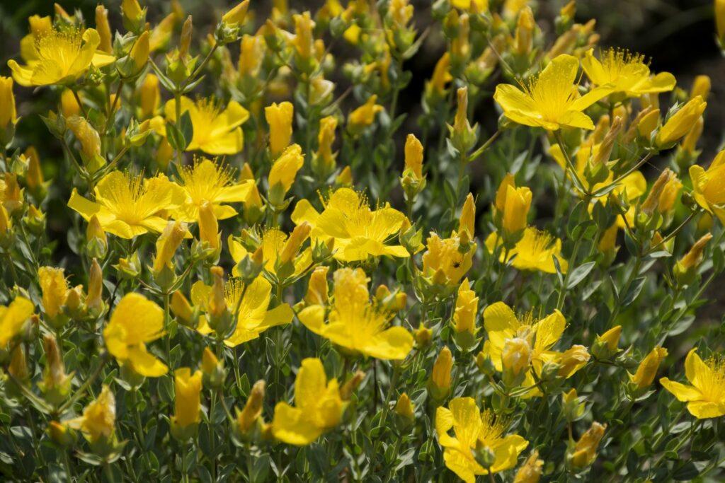 Polster-Johanniskraut mit gelben Blüten