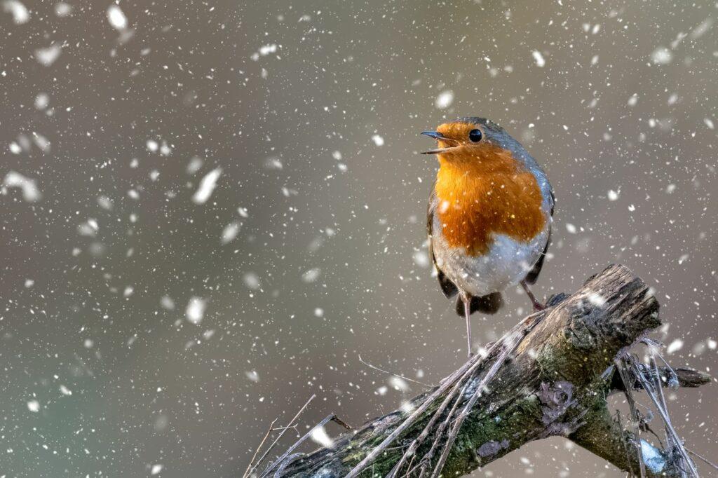 singendes Rotkehlchen im Winter