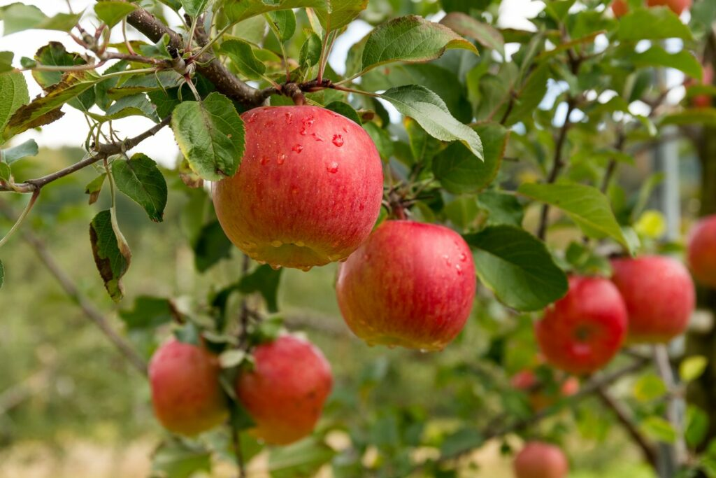 reife Rebella-Äpfel