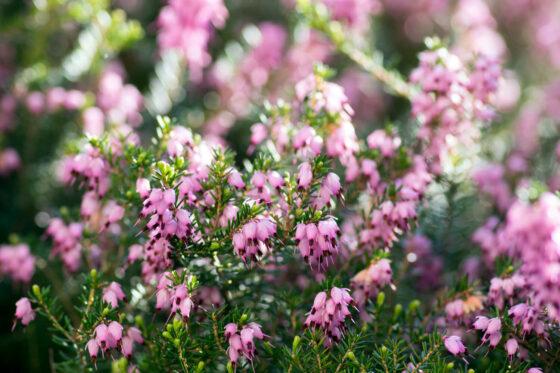 Schneeheide: Pflanzen, Pflegen & Schneiden von Erica carnea