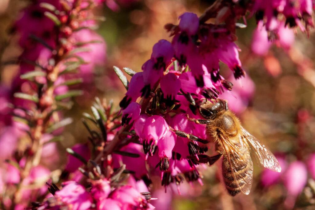 Biene an Schneeheide