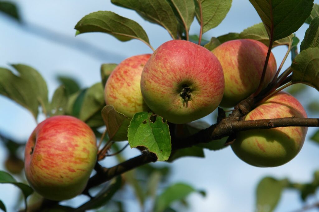 Rheinischer Winterrambur-Äpfel am Baum