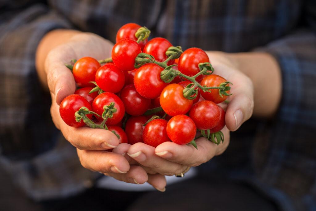 Tomate Zuckertraube Ernte