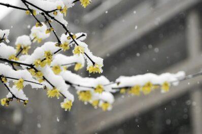 Winterblüher: Übersicht zu den schönsten winterblühenden Pflanzen