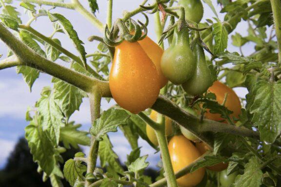 Yellow-Submarine-Tomate: Die gelbe Cocktailtomate pflanzen & pflegen
