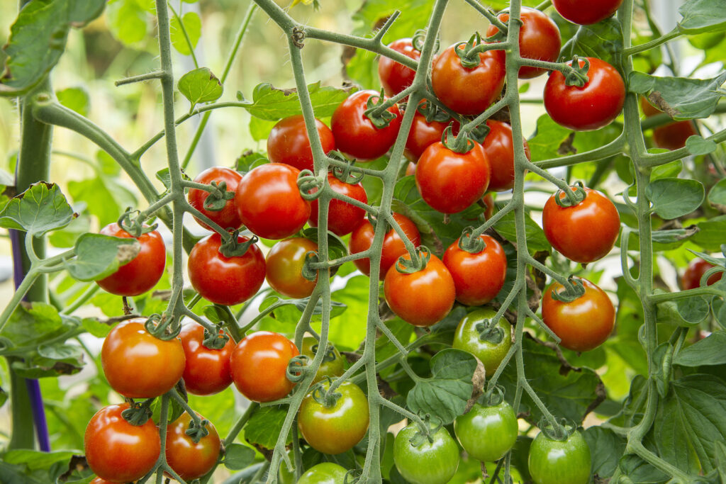 Tomate Zuckertraube Rispen