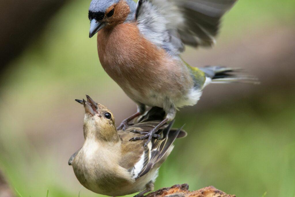 Buchfink bei der Paarung