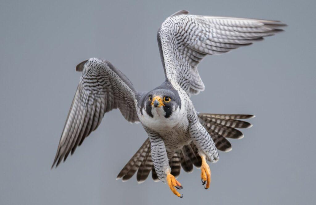 Falke zieht im Flug die Flügel ein