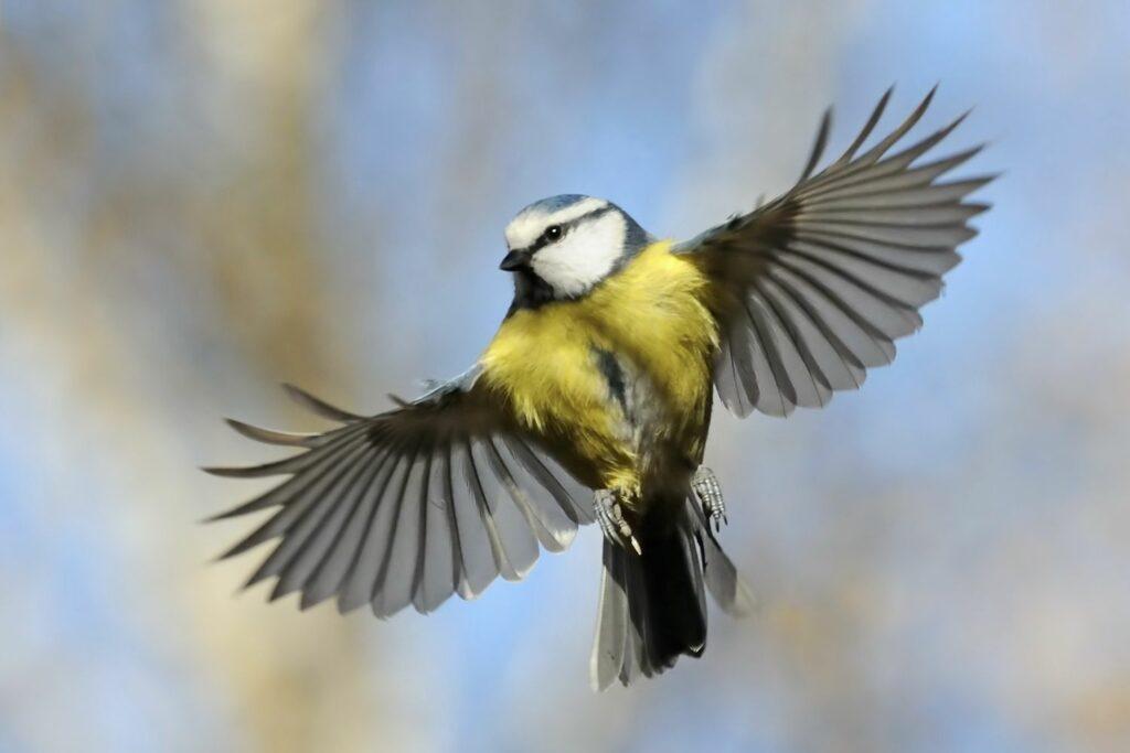 fliegende Blaumeise