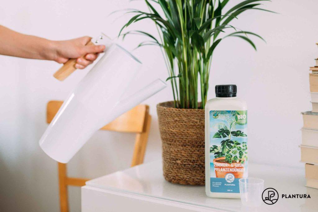 Früchte der Goldfruchtpalme
