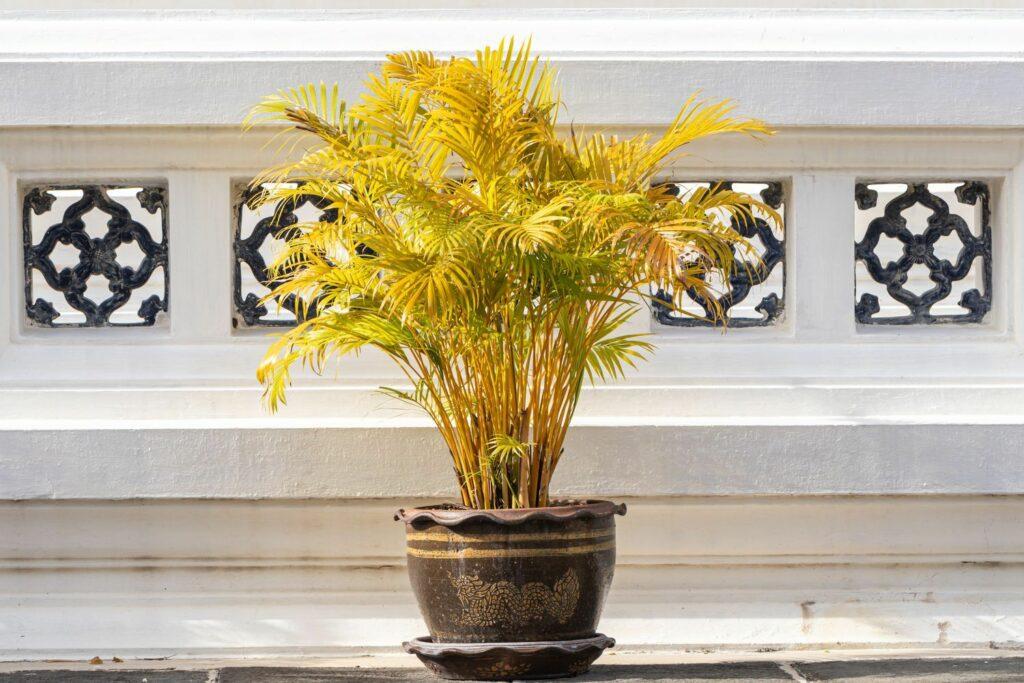 Goldfruchtpalme mit gelben Blättern