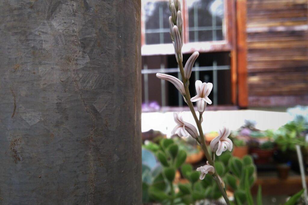 Blüte der Haworthia