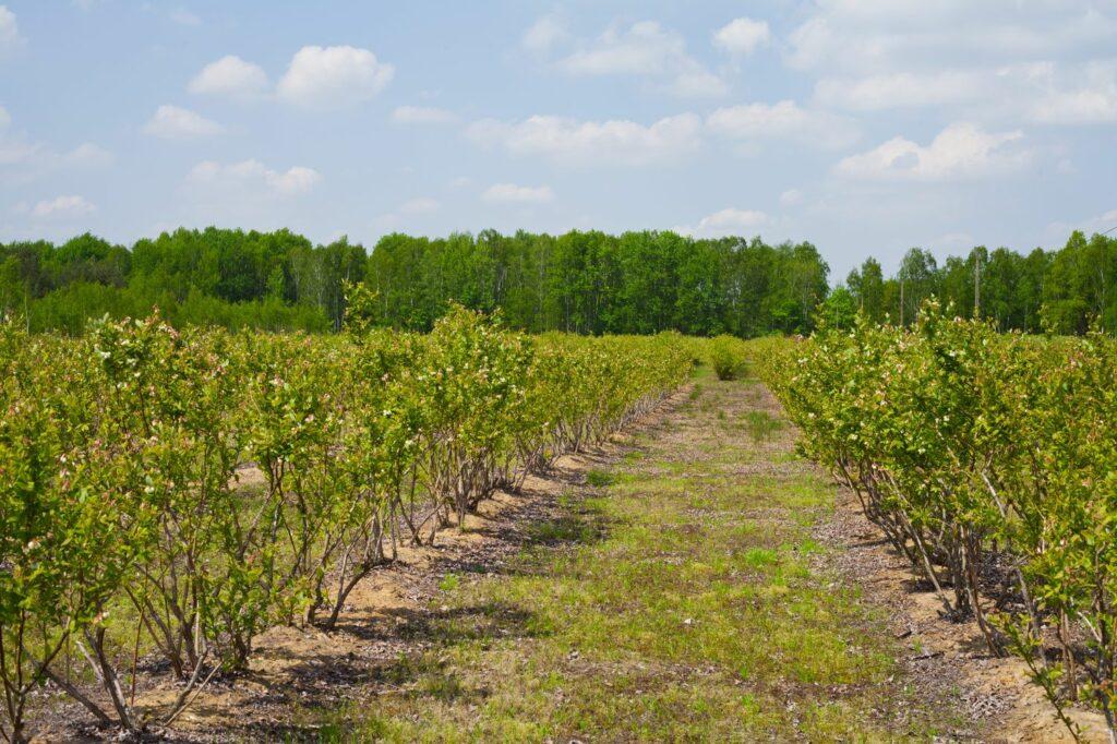 Heidelbeer-Plantage