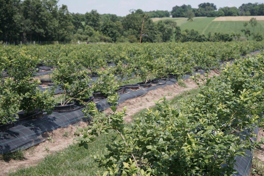 Freiland-Anbau von Heidelbeeren