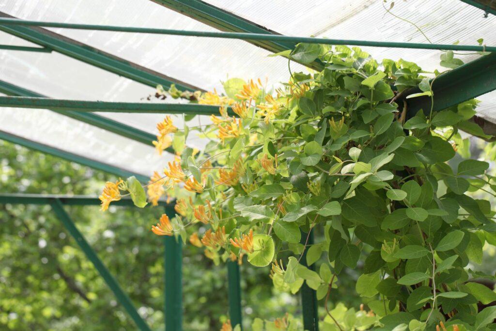 kletternde Jelängerjelieber-Pflanze