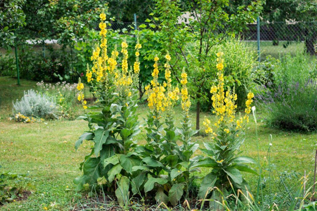 Königskerzen im Garten