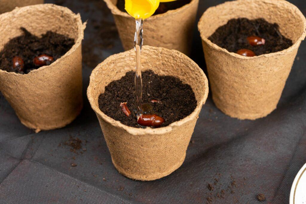 Litschisamen einpflanzen