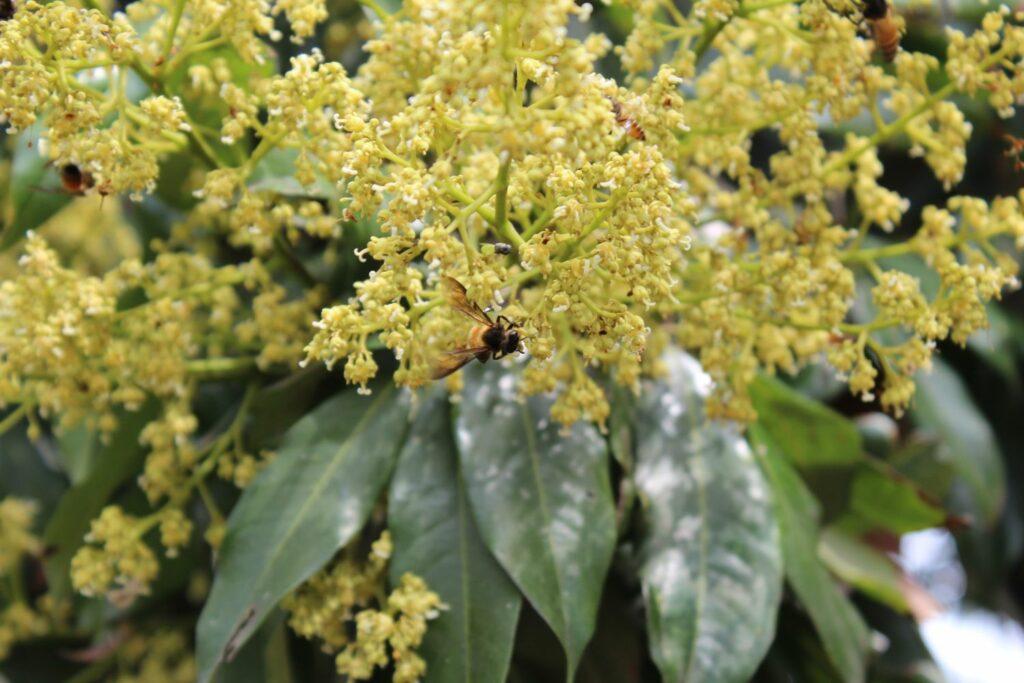 Bienen an Litschibaumblüten