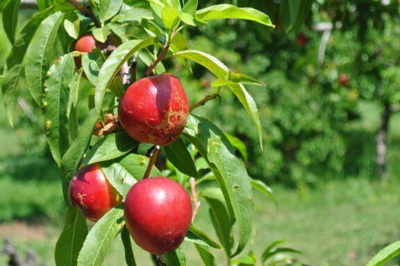 Nektarinenbaum pflanzen, pflegen & ernten