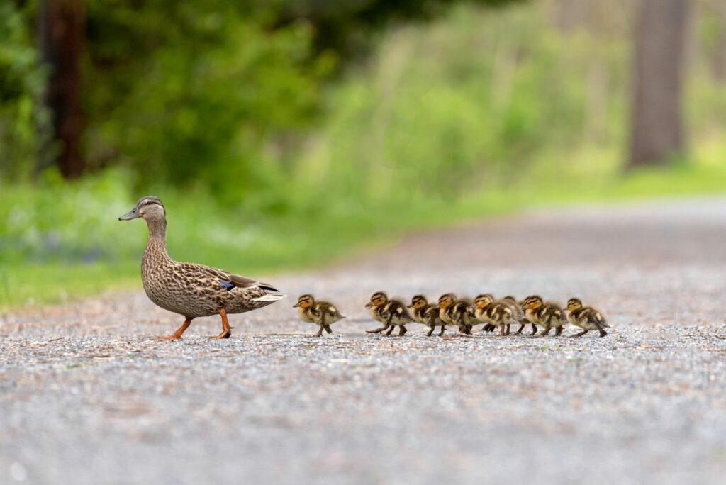 kleine Stockenten folgen ihrer Mutter