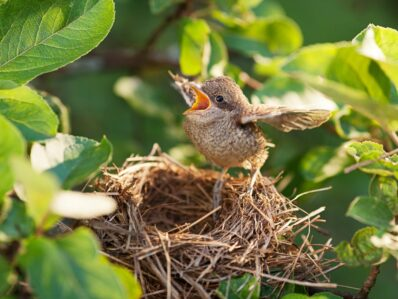 Nestlinge: Brutpflege der Vögel, Nesthocker, Nestflüchter & mehr