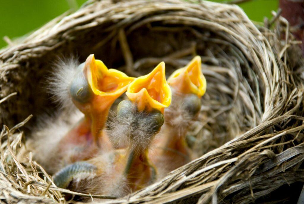 Nestlige im Vogelnest