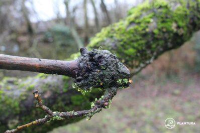 Obstbaumkrebs erkennen & behandeln