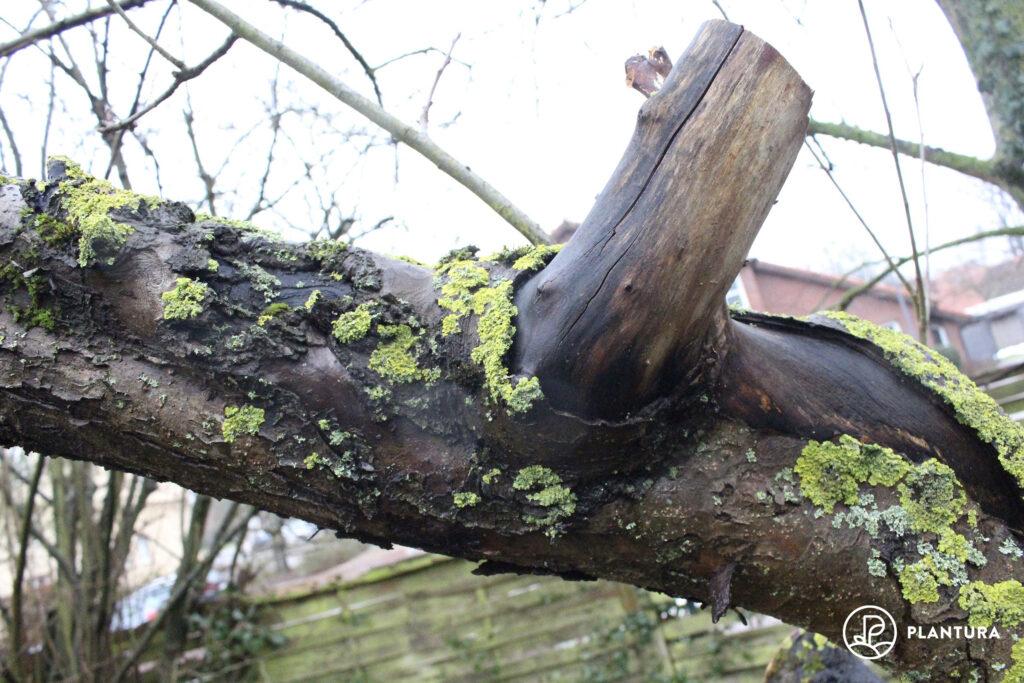 mit Obstbaumkrebs befallener Baum