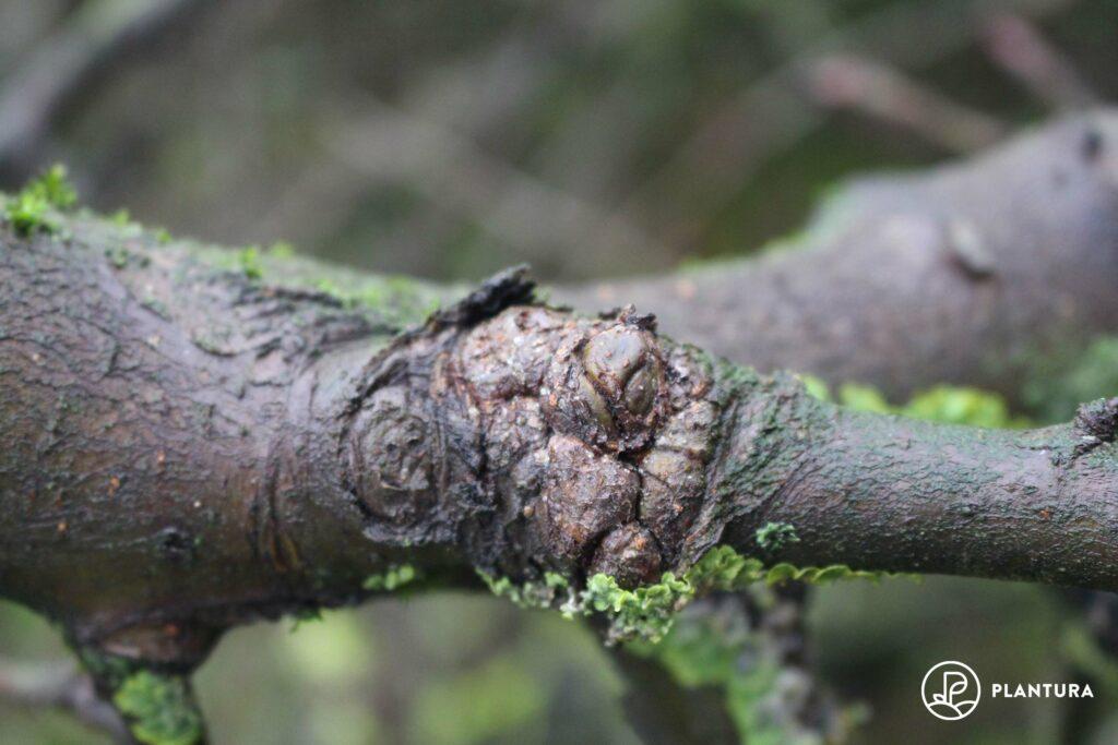 Ast mit Obstbaumkrebs-Geschwür