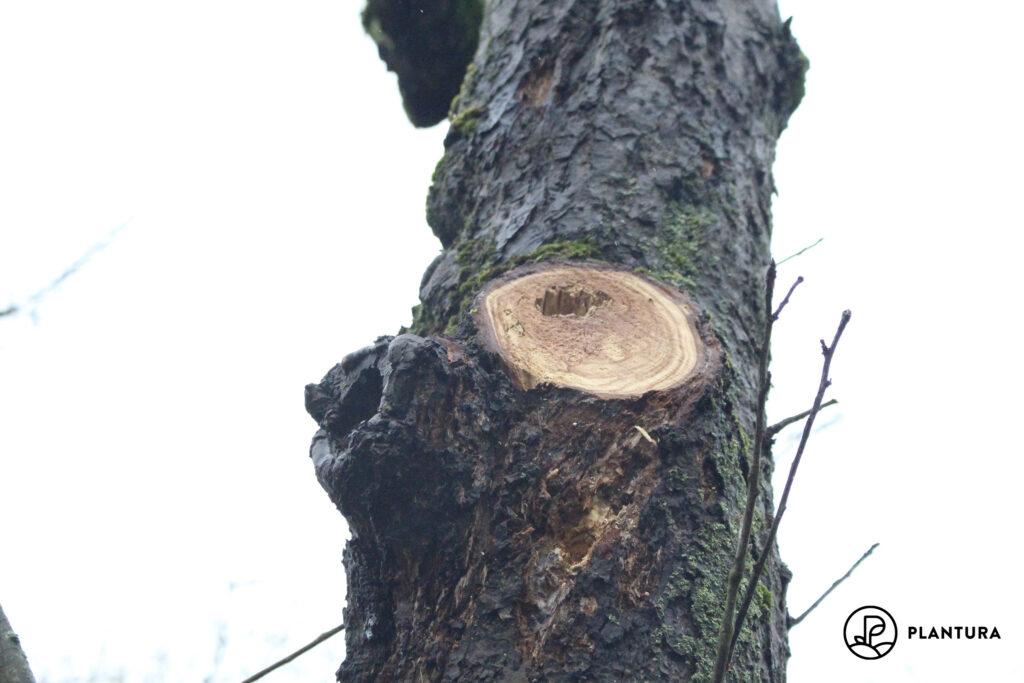 Baum mit Obstbaumkrebs
