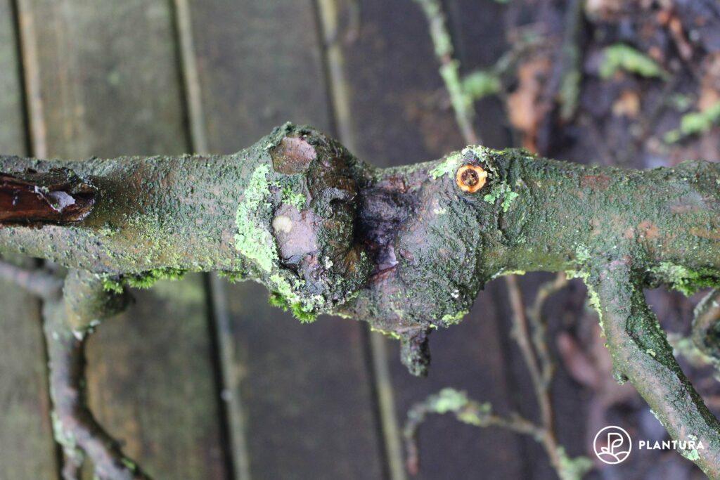 Schadbild des Obstbaumkrebses