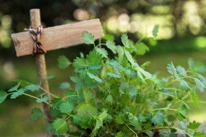 Pimpinelle: Standort, Ernte & Verwendung des Kleinen Wiesenknopfs
