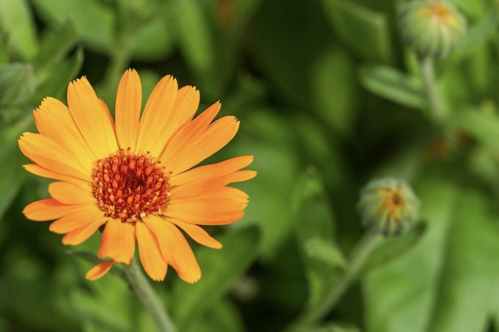 orangefarbene Ringelblume