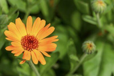 Ringelblume: Steckbrief, Aussaat & Ernte der Calendula